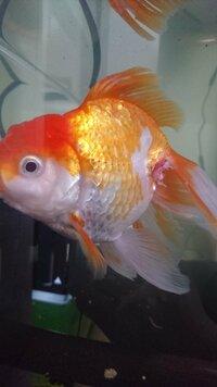 3、4日前に金魚がナマズに尾びれを食われ、ほんの少しだけ鱗?がありません(鱗は写真に写っていません)。何か対処すべきでしょうか? 今はナマズとは違う水槽に入れています。   いじめられ る前からなのです...