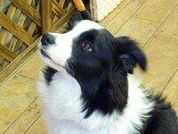 ボーダーコリー子犬を買うつもりなんですが、生後4か月でペットショップで売られていて食糞の癖がついてしまっています。トイレトレーニングは、むずかしいですかね?教えて下さい。
