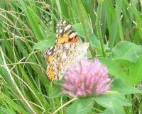 蝶の名前を教えて下さい。  撮影日 2014-08-10 場 所 利根川河川敷(茨城県取手市)