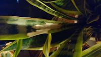 サンスベリアの葉っぱの途中のところが葉緑体みたいなのが抜けちゃったみたいなんですけどどうすればいいでしょうか