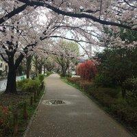 都内23区なんですが みなさんの近くで 見覚えないですか? 両サイドに 一方通行かわかりませんが 車道があり 真ん中に遊歩道 おそらく公園に繋がる道 ここの桜が気に入ってしまい 探して ます 宜しくお願...