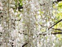 我が家に咲く藤です。 白いので、勝手に「白長藤」だと思っていたのですが、 先日通りがかりの方から、「それは口紅藤だと思う。挿し木させて欲しい」と言われました。 この藤の品種、わかりますか?
