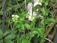 庭の雑草について教えてください。写真の白い蕾の植物の名前を教えてください。 奈良県の市街地、現在の状態です。よろしくお願い致します。