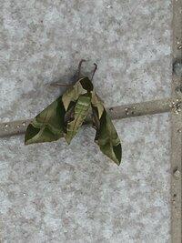 玄関先に蛾らしきものがとまっています。 初めて見る蛾なので、対処方がわかりません。どなたか、教えてください。よろしくお願いします。