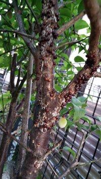 庭にある梅の木の幹に写真の赤いこぶのようなものがたくさんあります。潰すと汁が出ます。昆虫の卵のような気がしますが、なんですか。またこれが気にびっしりありますがどうやって駆除できますか。 、