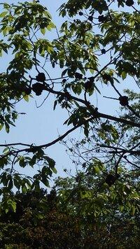 今日、公園で見たんですが、 木の枝に茶色いかたまりが沢山くっついているんですが、これは何ですか?