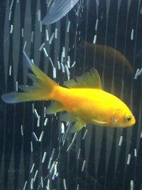 尾腐れ病について。  尾ひれ・背びれ・胸びれなどが裂けてきてます。  金魚自体は元気で、食欲もあるのですが、これは尾腐れ病なのでしょうか?
