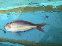 イトヨリダイの全長は口の先端~尾鰭の上側の先端までの長さでしょうか?