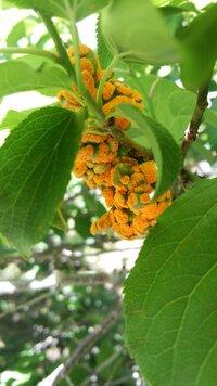 自宅前の梅の木にオレンジ色の物体があるのですが、これは梅の木の病気ですか? それとも虫の卵とかですか? なんだか気持ち悪くて( • ㅿ• ) : 分かる方いましたら、ご回答お願いします!