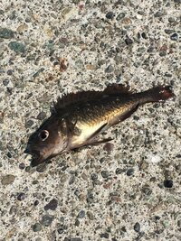 この魚は何という魚ですか?  今日、北海道苫小牧市の埠頭でサビキでチカ釣りをしていたら画像の10cmくらいの小さい魚が何匹も釣れました。 この魚は何という魚ですか?食べれますか?