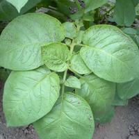 このジャガイモの葉は「夏疫病」の初期症状ですか? ここ1週間、畑に行かなかったら、ジャガイモ(男爵)の下葉から斑点が生じてきました。一部、枯れてる葉もあります。昨年、同じ症状で質問をしたら「疫病」と回...