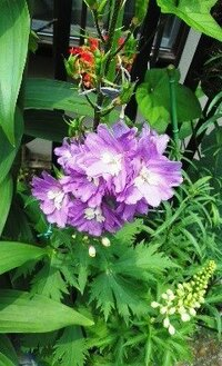 プランターに咲く紫色のこの花の名前をおしえてください。
