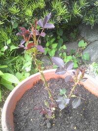 バラの葉が赤いのですが何か病気でしょうか? 地植えで5年以上放任していて葉はほとんどが病害虫の被害でなくなってしまうのですが、それでも小さめの花を春と秋に2~3回咲かせていました。 環境を変えようと思いとりあえず掘り起こし鉢に移しました。