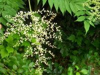 今日現在の様子です。この白い花は何という植物でしょうか。右上の、小さいのがたくさん並んでいるのが葉です。よろしくお願いいたします。