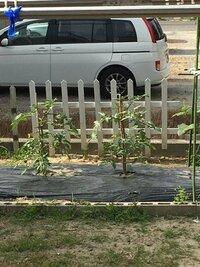 家庭菜園でデルモンテ プチ贅沢トマト 中玉 もいうものを育ててます。摘芯は、見よう見まねでやってます。枝がだいぶ横に広がってきてます。このまま放置気味でもいいのでしょうか?垂れ下がり過ぎたら主の柱から10 センチぐらいできってもいいのでしょうか?支柱が短すぎますかね?イマイチネットで調べましてもよくわからないのでこちらで質問させていただきます。乱文失礼しました宜しくお願い致します。