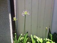 このお花の名前を教えてください!  近所に咲いていたお花なのですが 名前が知りたいです。  ねぎぼうずのようなつぼみから 薄紫色のお花が咲きます。  どうぞよろしくお願いします!