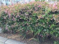 この花は何と言う名前でしょうか? 道路の中央分離帯にあった生垣(?)です。 宜しくお願いします!
