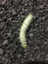 毛虫 芋虫系 画像あり   今日雨の中アスファルトの上を這う毛虫?を見つけました!それなりに田舎町なのですが成人してからなかなか立派な毛虫を見る機会も減ったので久々に見たこの子の名前 をぜひ知りたいの...