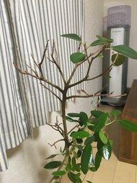 フランスゴムの木の上部だけ葉が落ちてしましました(><)中部から下部にかけては新芽もでてきたのですが上部だけがハゲハゲになってしまってます。これは何が原因なのかわかるでしょうか?あと 改善方法を教えて頂ければ嬉しいです( ¨ )環境は室内で育てていて、家の中では1番日差しが入る窓際に置いています!(明るいですが隣の家の影で直接日光はあんまり差し込みません)水は土が乾いてから下のお皿に抜けるぐ...