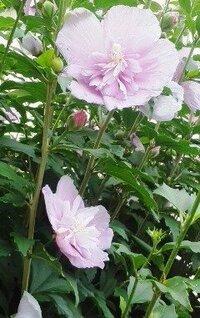 細い木のピンク色の八重咲きの花の名前を教えて下さい。