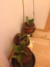 中型の観葉植物についてコイン250です! 実家にある観葉植物がなんか色々可哀想なんです どうにか元気にしてあげられませんか?助けてあげたいのですが