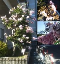 この植物は何という名前の植物でしょうか? 千葉県市街地、2017/8現在咲いています。 うすい桃色の小さな花が集まって咲いていて、見た目はモシャモシャとしています。 つぼみがあるのでこれからもまだまだ咲きそうです。 横にある自転車は大人用27インチです。 ご存じの方いたら教えて下さい。