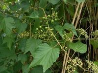 野草の名前を教えてください つる性の植物です ヤブガラシでいいのしょうか?