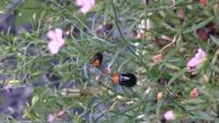 かすみ草に蛍みたいな虫が10匹くらい集まっていました。 近づくとフワッと蛍みたいに空中を飛び回ります。 写真のように頭付近とお尻がオレンジ色です。 この虫はなんなのでしょうか?害はあるのでしょうか? 宜しくお願いします。
