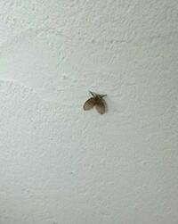 最近洗面所やお風呂場あたりに画像の虫をよくみつけます。何の虫ですか?とても小さい虫です。 排水口なんかにわくのでしょうか? 対策はありますか?