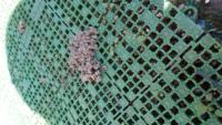 何もなかった庭の土の上に突然こんな風な粒状の土が盛り上がっています。これって、何かの巣ですか?糞ですか?これが庭にいくつもあって気持ちが悪いです。 何かの虫の形跡なら、対処方法も知りたいです。