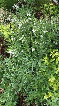 白い花の名前を教えて頂けませんか? 花の下に写っているトゲトゲ葉っぱの名前もお願いします。