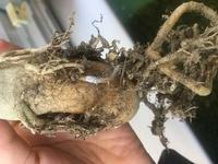 数ヶ月前からアデニウムの幹がブヨブヨになってしまいました。根の状態を見ると、一部白くカビが生えているようです。  ネットで検索すると根腐れをおこした部分は切るようなんですが、どの部 分を切ればいいのかも、切った後の処理も、正しい方法が分かりません。  ちなみに、根の太い部分もブヨブヨです。  詳しい方いらっしゃいましたら教えてください。よろしくお願い致します。