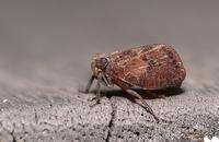 ツノゼミのような虫を撮影しましたが、いろいろ調べてみたものの名前が分かりません。 どなたか分かる方がいらしたら、教えていただけたら幸いです。