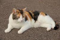 昭和のレトロ感がある猫ちゃん言うたらどの種類がしっくりきます?