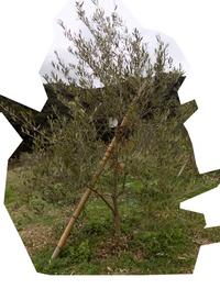 オリーブを育てているものなのですが 1.5反にオリーブを、ミッション、ネバディブロンコ、ルッカ、マンザロニと品種で区切り45本植えているのですが、そのオリーブのネバディブロンコ(計7本)の2本が葉っぱすべて...