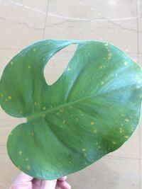 モンステラの黄色斑点について。 モンステラの葉っぱが写真の様な黄色い斑点ができて広がってきています。 栽培環境は、事務所内で半日陰、最低気温は10度以上、水遣りは、鉢土の2センチ中が乾いてから4日後ぐらいに水遣り。 この病気の葉っぱが、他の葉っぱに接触すると、他の葉っぱも黄色斑点ができるみたいです。 一応切り取りながら処理していますが、対策しないと株がダメになりそうな気がします。 ハダニはい...