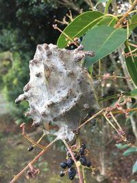 木の枝に巻き付いていたコレは虫の巣や卵でしょうか??