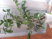 梛の葉がくるくると乾燥しているようなのですが、元気のある葉に戻す方法はありますか?? 父からもらった鉢植えなので何とか持ち直したいです。 お詳しい方がいらっしゃいましたらお知恵を貸して下さい。 よろしくお願いしますm(__)m