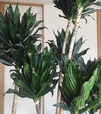 観葉植物のドラセナコンパクタを育てています。私が旅行中の間に、主人が日光に当てたほうが良いと思いベランダに出し低温障害になってしまいました。新築祝いに頂いた大切なもので、どうにか再 生させたいです。なにか良い方法はないでしょうか?