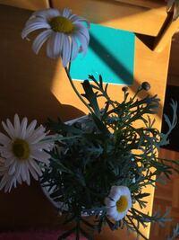 マーガレットについてです。 花弁が丸まるのですが、なぜですか? 朝はなんともなってなくて、今日水もあげ、日向に置いておきました 花の寿命ですか?