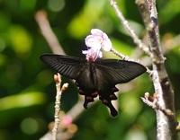 1月下旬に沖縄、今帰仁城跡にいた黒い蝶の名前は? 1月28日に沖縄、今帰仁城跡のさくら祭りに行きました。その時撮った蝶です。名前を知りたいです。よろしくお願いします。