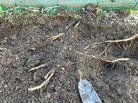 地植えのミョウガの植え替えについて。 今植えてある場所を工事するため植え替えしなくてはいけません。掘り起こしてみると思った以上に根が張っていました。すべてキレイに掘り起こさないといけませんか?途中で...