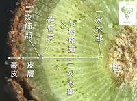 木の枝の断面図なのですが、各部の名称はこれで合っているでしょうか? 中心部から、髄、一次木部、二次木部、維管束、二次師部、皮層、表皮です。ルーペとスマホで撮影したものなので維管束や二次師部は画像からは確認できませんが…だいたいこのへんですか?