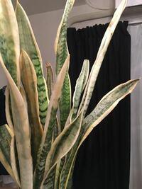 サンスベリア 観葉植物 サンスベリアが寒さに弱いのを知らずにこんな寒い時期にベランダに放置してしまい色が退色、先が枯れてしまいました。 暖かいところに置き、水をあまりあげず、活力剤を与えたら元に戻るで...