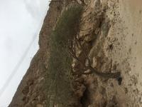 この植物の名前を教えてください。 場所はUAE オマーンの砂浜周りは崖です 気温は25度から30度です 枝には尖ったとげがあります。 葉っぱは米1粒よりもふた回りぐらい小さいです。 よろしくお願いします