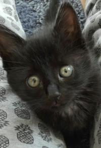 野良猫の黒猫の赤ちゃんです。4月で2カ月になります。 わたしはあまり猫の種類に詳しくないのですが、これはボンベイという黒猫でしょうか?