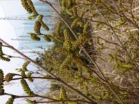 キャンプ場付近にあるこの木は、なんと言う木でしょうか? 線香のような匂いがします。