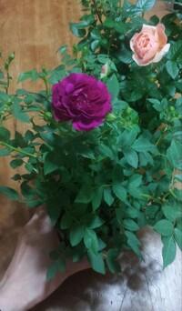 手前の赤紫色のミニバラはスイートチャリオットですか? 後ろのサーモンピンクの花はミニバラのモカフェローズで甘い香りを感じました。 赤紫色のミニバラはなんとなくスパイシーな香りに感じま した。