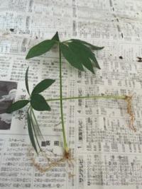 カポック挿し木で検索したら葉っぱだけの 挿し木の画像が有りました。  この葉っぱから幹に育つのでしょうか?