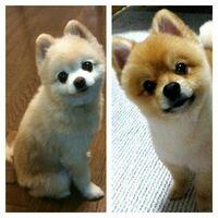 添付詳細。 ポメラニアンに俊介君カットとしば犬カットの違いが分かりません… 左が俊介君カット、右がしば犬カットらしいのですが…
